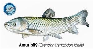 Amur bílý cena